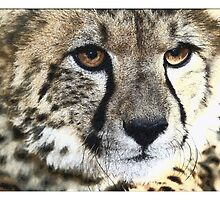 Cheetah 2 by Wilma