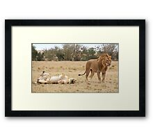 Domestic Bliss. Lions After Copulation, Maasai Mara, Kenya  Framed Print