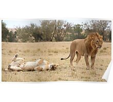 Domestic Bliss. Lions After Copulation, Maasai Mara, Kenya  Poster