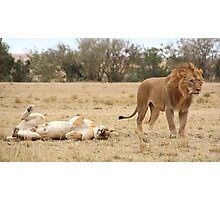 Domestic Bliss. Lions After Copulation, Maasai Mara, Kenya  Photographic Print