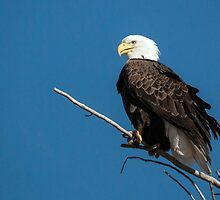 Bald Eagle on branch by Eivor Kuchta
