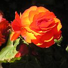 Begonias, the beautiful unending bloom by aida3