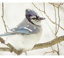 Snowy Blue Jay Photographic Print