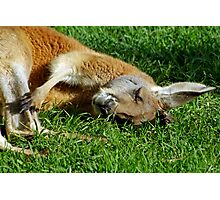 Sleepy Roo. Photographic Print