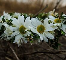 Daisy Chain by inphocus