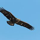 Juvenile Eagle 2015-1 by Thomas Young