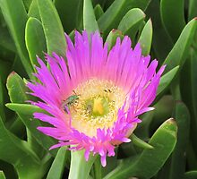 Pigface Flower Pollination by fortuitous