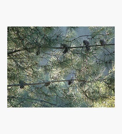 Pine matrix Photographic Print