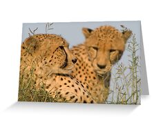 Cheetah brothers basking in the sun Greeting Card