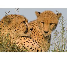 Cheetah brothers basking in the sun Photographic Print