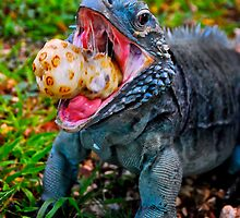 Grand Cayman Blue Iguana [ Cyclura lewisi ] by Shannon Benson