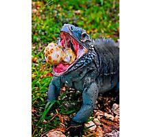 Grand Cayman Blue Iguana [ Cyclura lewisi ] Photographic Print