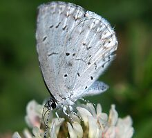 Holly Blue by Gaby Swanson  Photography