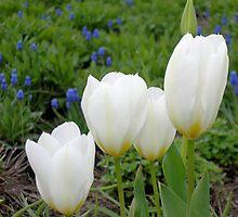 Four White Tulips by Kathleen Brant