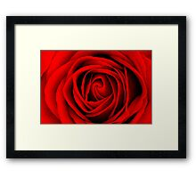Scarlet Rose Framed Print