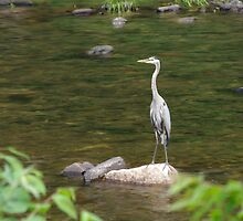 Blue Heron Resting Near The Creek by Molly  Kinsey
