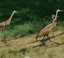Sandhill Crane Summer Vacation by Molly  Kinsey