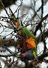 Rainbow Lorikeet - Gawler St, Mt Barker by LeeoPhotography