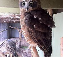 Halls Gap Zoo - Barking Owl by forgantly