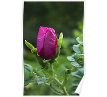 Wild Red Rose Poster