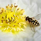 Hoverfly & White Poppy by AnnDixon