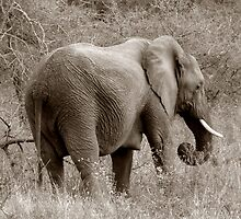The Safari Series - 'Elephant 1' by Paige