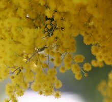 Wattle by Philip Cannon