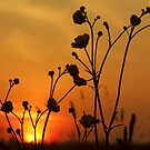 Buttercup Sunset by Angela Harburn
