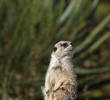 Meerkat at Werribee Open Range Zoo Number 1 by Roy Thompson