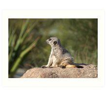 Meerkat at Werribee Open Range Zoo Number 2 Art Print