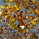 Autumn Leaves, Melbourne by retsilla