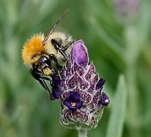 Bee & Lavender by AnnDixon