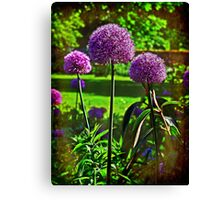 Purple Allium Spheres  Canvas Print