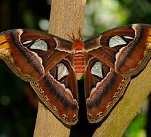 Atlas Moth by Bonnie T.  Barry