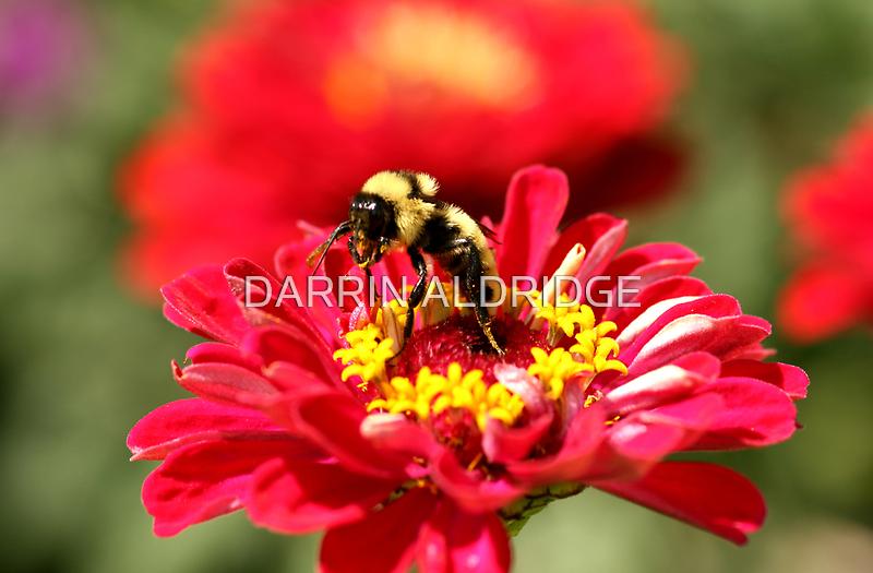 Bumble Bee Gathering Nectar by DARRIN ALDRIDGE