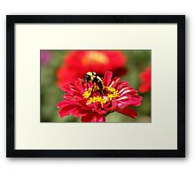 Bumble Bee Gathering Nectar Framed Print
