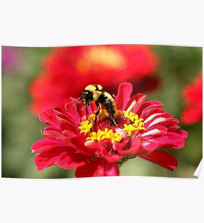 Bumble Bee Gathering Nectar Poster