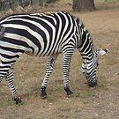 Zebra Stripes by Marmadas