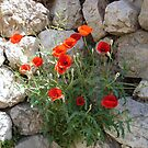 Poppies on the Rocks by Marmadas