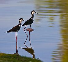 Black Necked Stilt by Marvin Collins