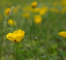 buttercups by makpics