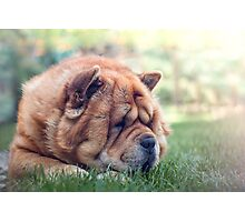 Sunbathing chow dog Photographic Print