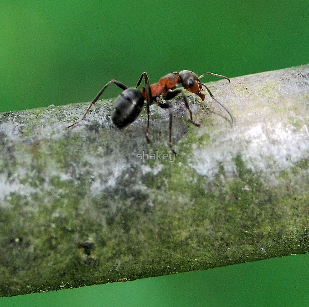 Ant by shakey