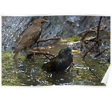 Redwing Blackbird and Mate Poster