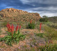 Desert Bloom in Red Rock Las Vegas by bongo