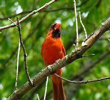 Red Cardinal  by LauraElizabeth