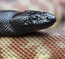 Black Headed Python - QLD form by Steve Bullock