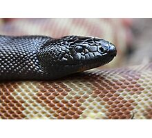Black Headed Python - QLD form Photographic Print
