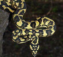 Tully locale Jungle Carpet Python by Steve Bullock