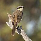 Singing Honeyeater by Blue Gum Pictures